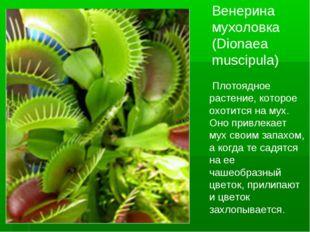 Венерина мухоловка (Dionaea muscipula) Плотоядное растение, которое охотится