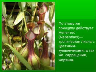 По этому же принципу действует Непентес (Nepenthes)— тропическая лиана с цве