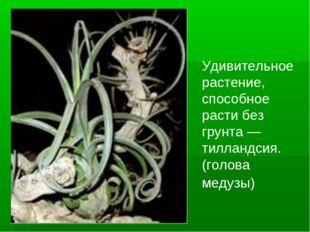Удивительное растение, способное расти без грунта — тилландсия.(голова медузы)