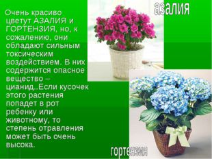 Очень красиво цветут АЗАЛИЯ и ГОРТЕНЗИЯ, но, к сожалению, они обладают сильн