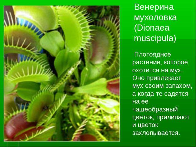 Венерина мухоловка (Dionaea muscipula) Плотоядное растение, которое охотится...