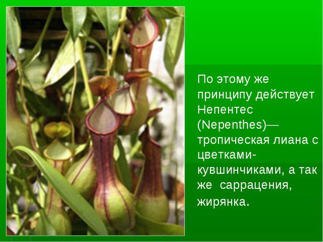 По этому же принципу действует Непентес (Nepenthes)— тропическая лиана с цве...