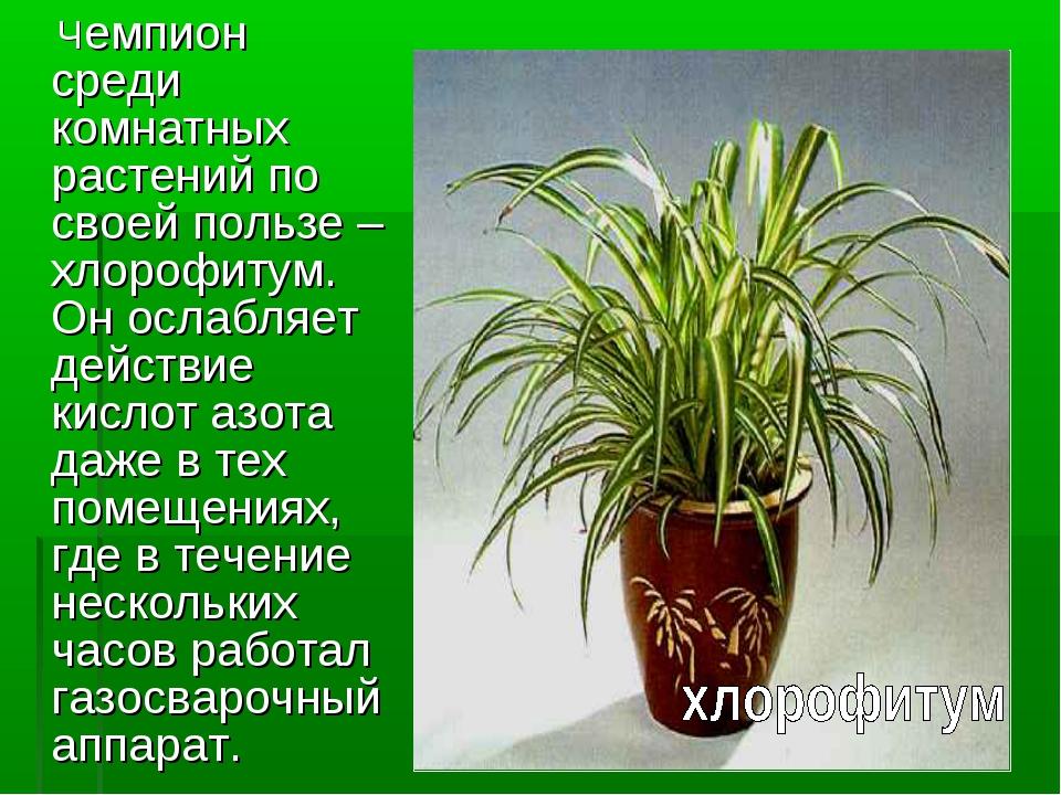Чемпион среди комнатных растений по своей пользе – хлорофитум. Он ослабляе...