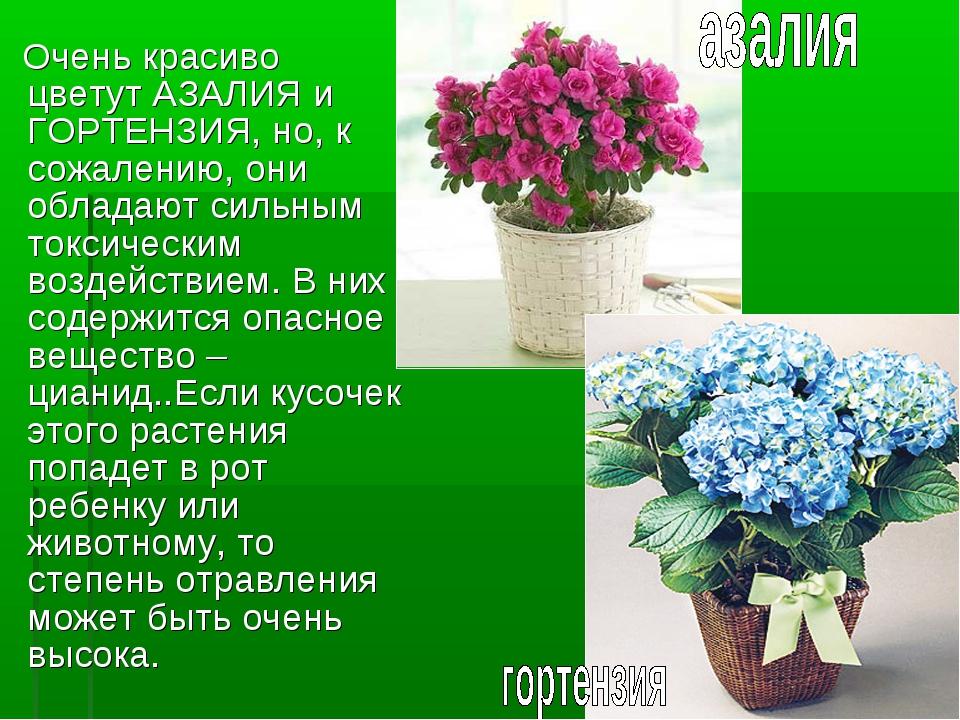 Очень красиво цветут АЗАЛИЯ и ГОРТЕНЗИЯ, но, к сожалению, они обладают сильн...