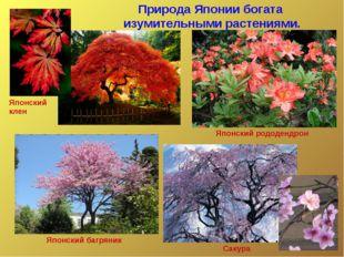 Природа Японии богата изумительными растениями. Японский клен Японский багрян
