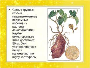 Самые крупные клубни (видоизмененные подземные побеги) - у растения азиатский