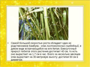 Самой большой скоростью роста обладает один из родственников бамбука - злак л