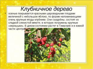 Клубничное дерево осенью покрывается красными шаровидными плодами величиной с