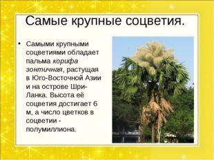 Самые крупные соцветия. Самыми крупными соцветиями обладает пальма корифа зон