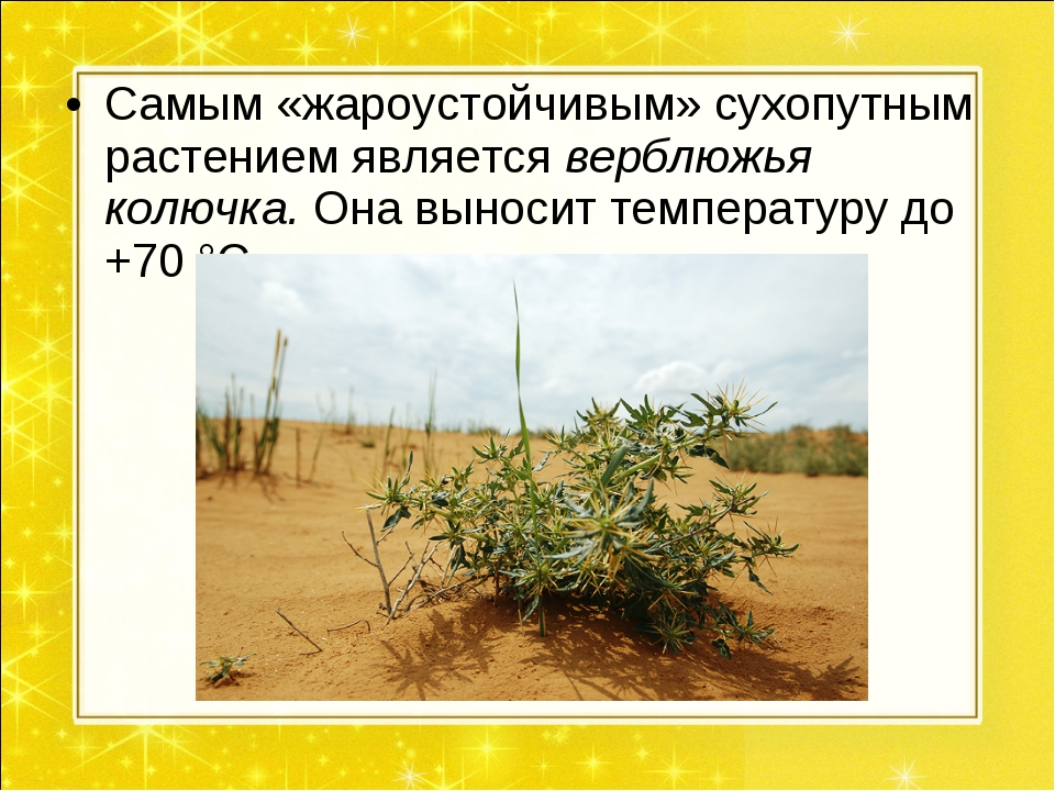 Самым «жароустойчивым» сухопутным растением является верблюжья колючка. Она в...
