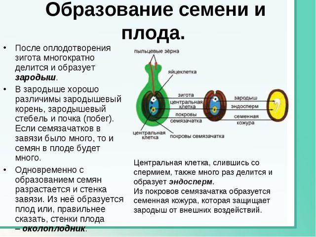 Образование семени и плода. После оплодотворения зигота многократно делится...
