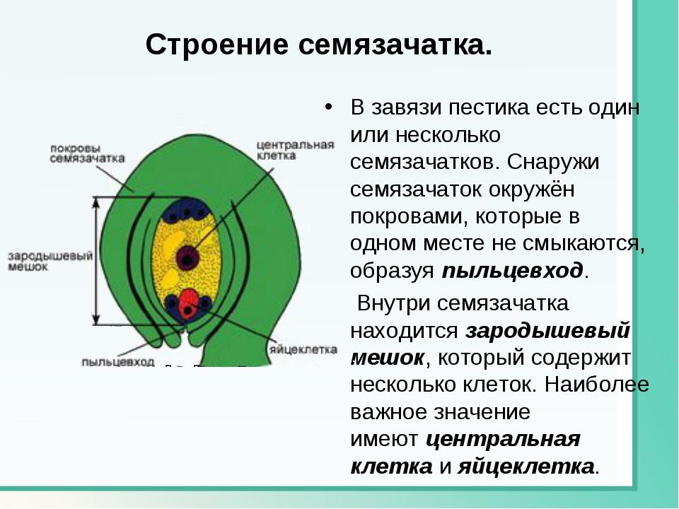 Строение семязачатка. В завязи пестика есть один или несколько семязачатков....