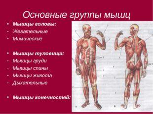 Основные группы мышц Мышцы головы: Жевательные Мимические Мышцы туловища: Мыш