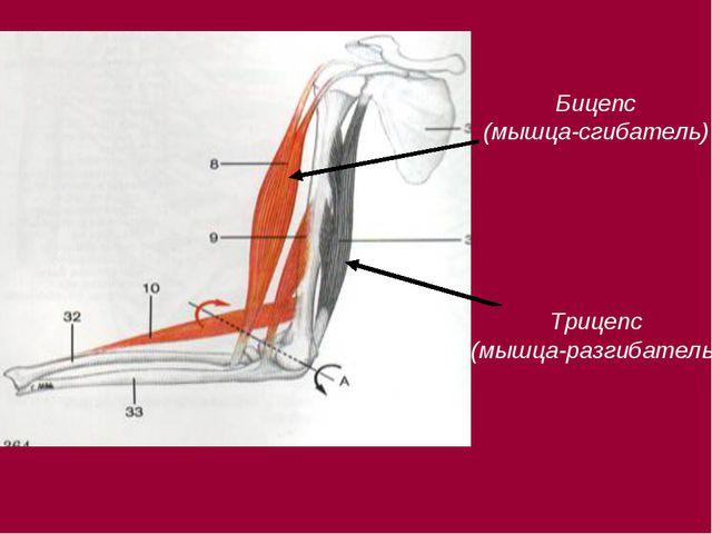 Бицепс (мышца-сгибатель) Трицепс (мышца-разгибатель)