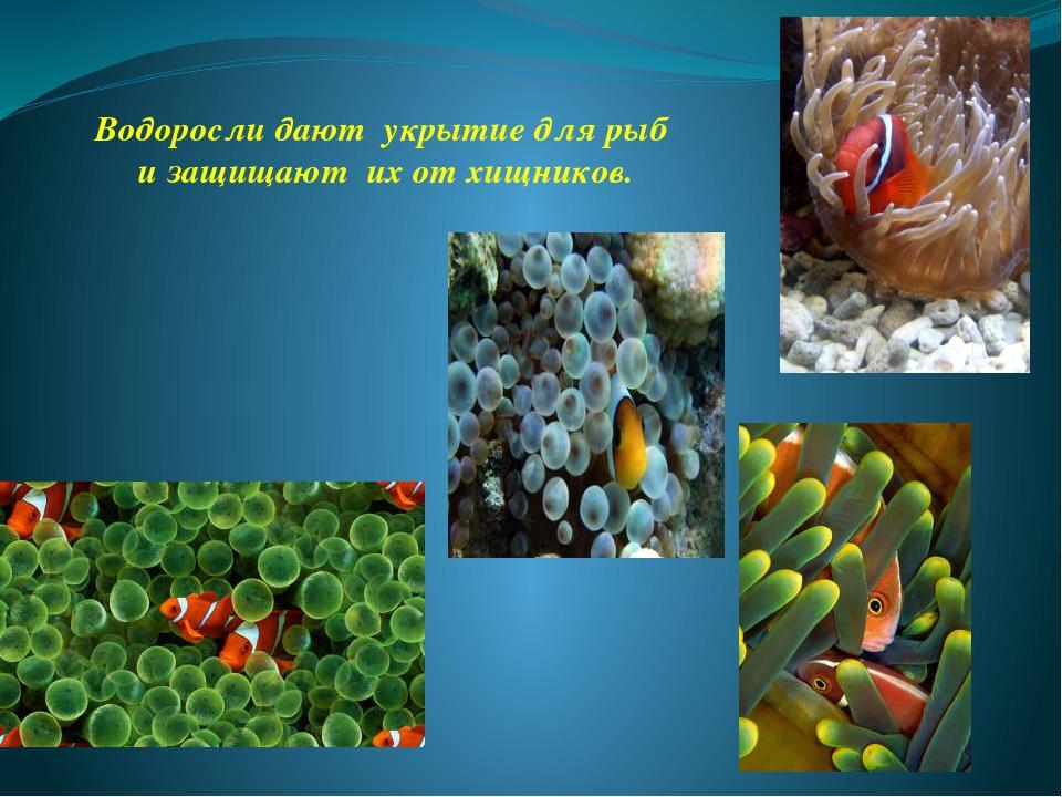 Водоросли дают укрытие для рыб и защищают их от хищников.