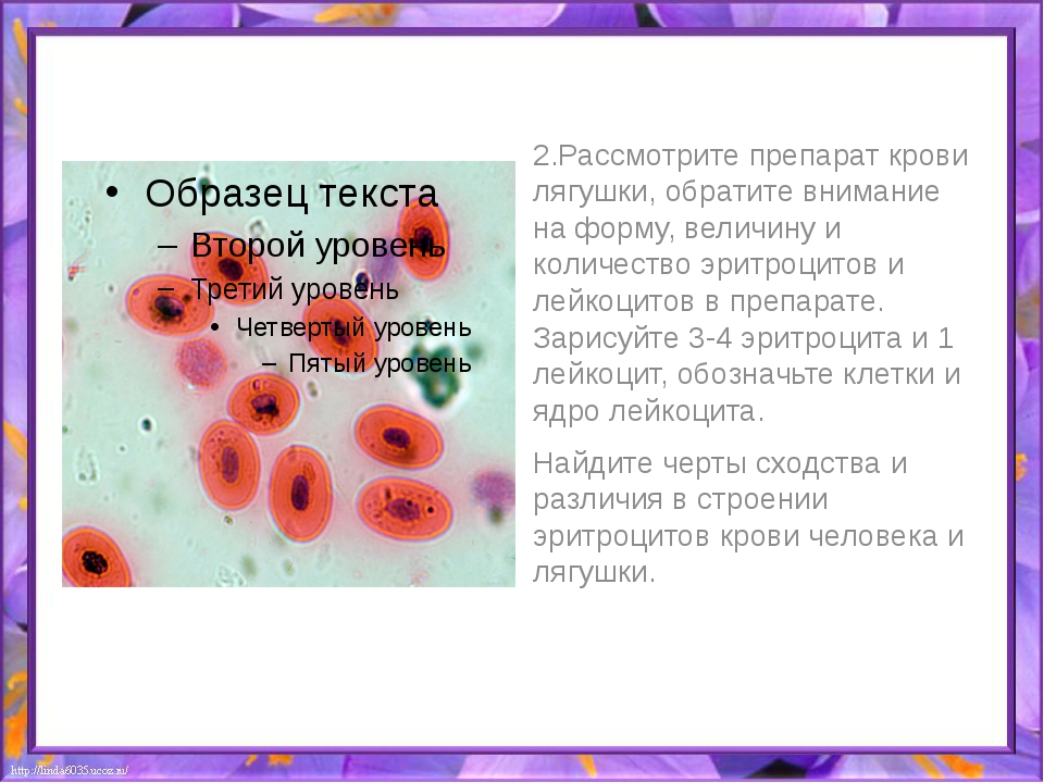 2.Рассмотрите препарат крови лягушки, обратите внимание на форму, величину и...