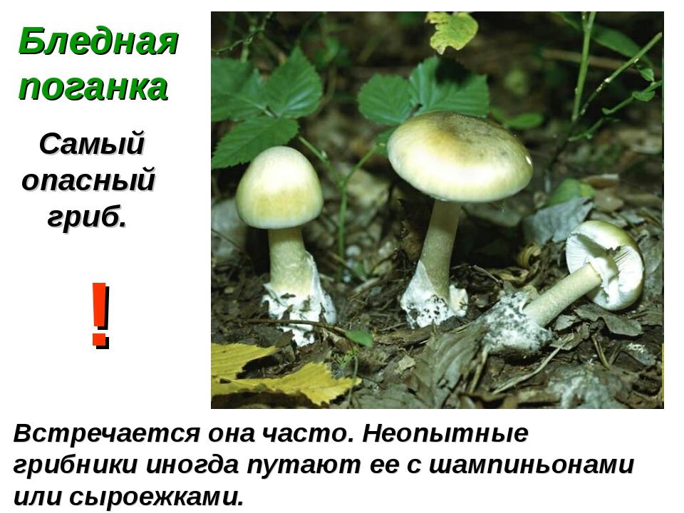 Бледная поганка Самый опасный гриб. Встречается она часто. Неопытные грибники...