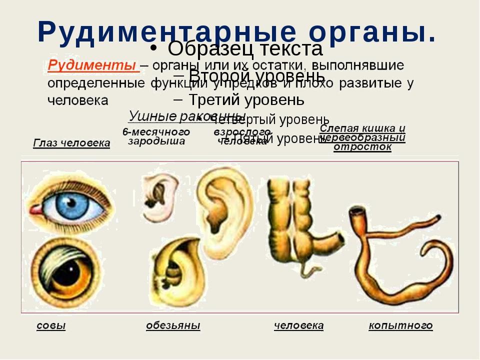 Рудиментарные органы.