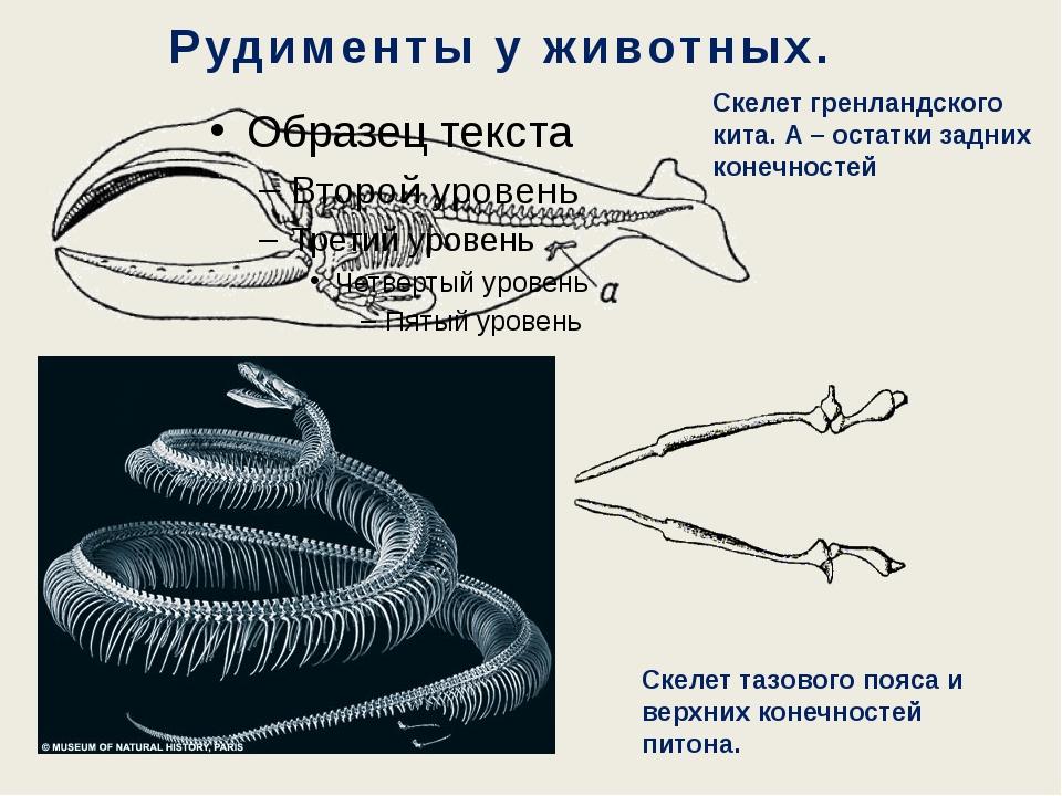 Рудименты у животных. Скелет гренландского кита. А – остатки задних конечност...