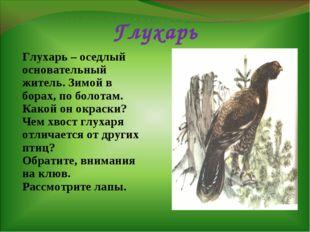 Глухарь Глухарь – оседлый основательный житель. Зимой в борах, по болотам. Ка