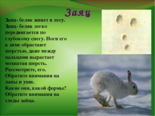 Заяц Заяц- беляк живет в лесу. Заяц- беляк легко передвигается по глубокому с