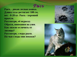 Рысь Рысь - дикая лесная кошка. Длина тела достигает 108 см, вес - 8-20 кг. Р