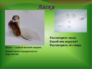 Ласка Ласка — самый мелкий хищник. Зимой ласка передвигается под снегом. Расс
