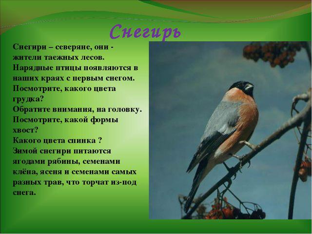 Снегирь Снегири – северяне, они - жители таежных лесов. Нарядные птицы появля...