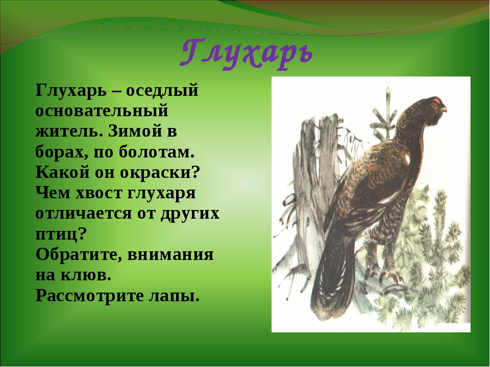 Глухарь Глухарь – оседлый основательный житель. Зимой в борах, по болотам. Ка...