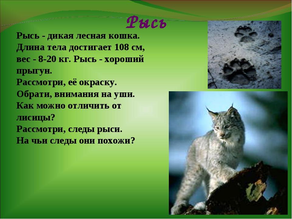 Рысь Рысь - дикая лесная кошка. Длина тела достигает 108 см, вес - 8-20 кг. Р...