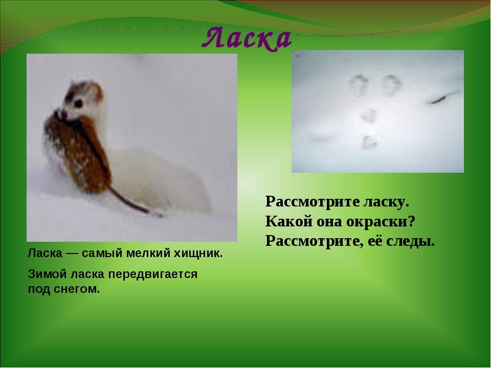 Ласка Ласка — самый мелкий хищник. Зимой ласка передвигается под снегом. Расс...
