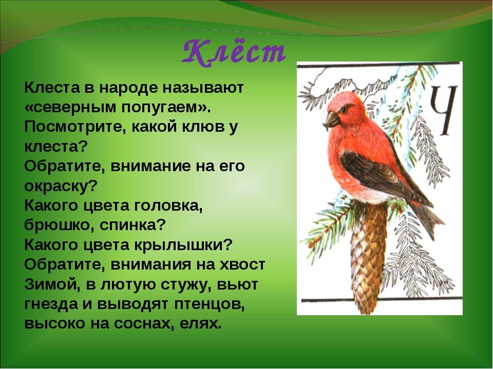 Клёст Клеста в народе называют «северным попугаем». Посмотрите, какой клюв у...