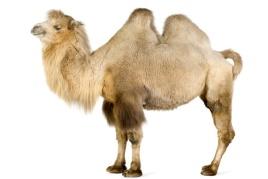 http://www.molomo.ru/img/camel_1.jpg