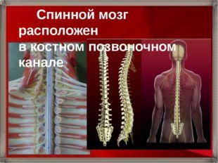 Спинной мозг расположен в костном позвоночном канале