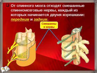 От спинного мозга отходят смешанные спинномозговые нервы, каждый из которых н