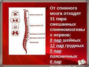От спинного мозга отходят 31 пара смешанных спинномозговых нервов: 8 пар шейн