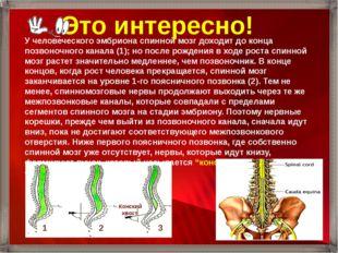 У человеческого эмбриона спинной мозг доходит до конца позвоночного канала (1