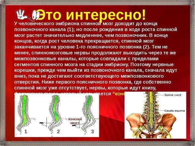 У человеческого эмбриона спинной мозг доходит до конца позвоночного канала (1...