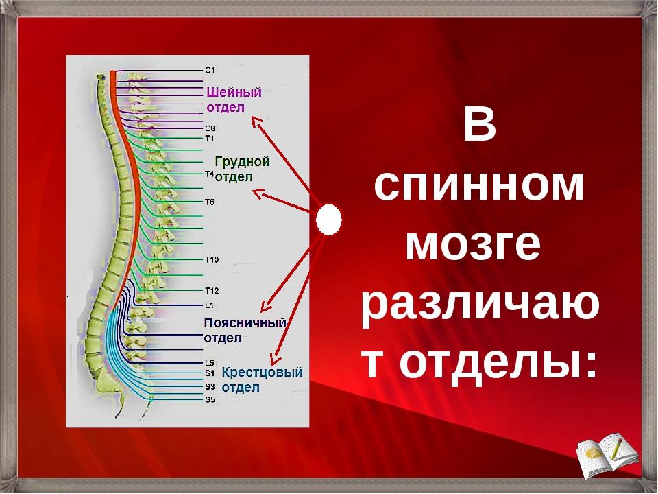 В спинном мозге различают отделы: