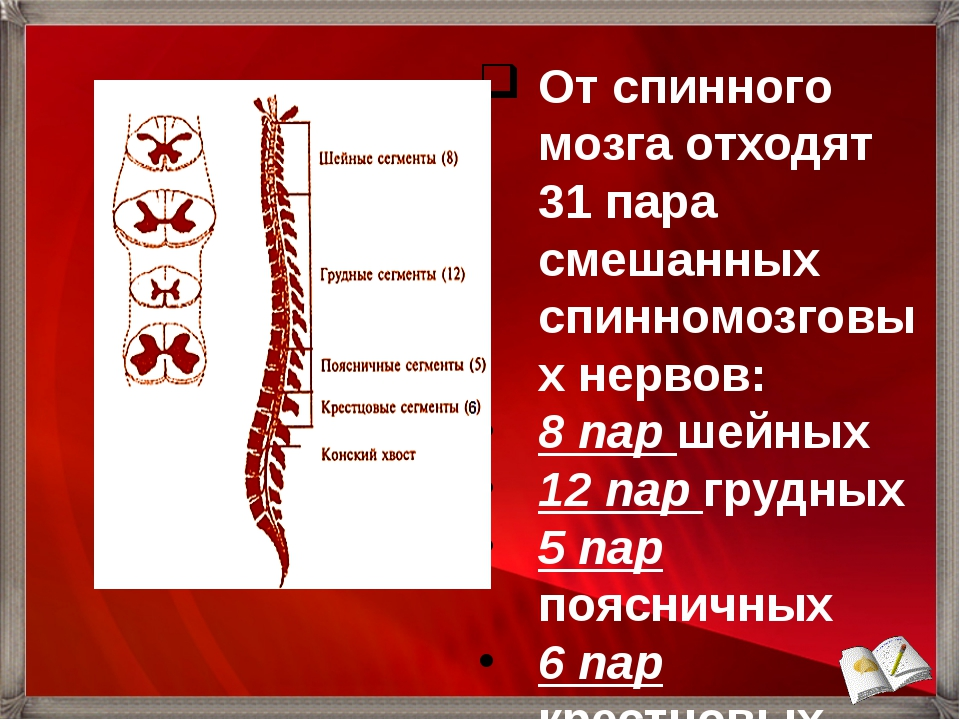 От спинного мозга отходят 31 пара смешанных спинномозговых нервов: 8 пар шейн...