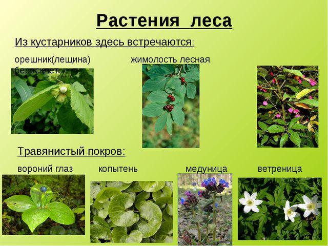 анеме название растений с картинками лесных под