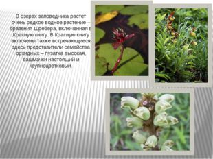 В озерах заповедника растет очень редкое водное растение – бразения Шребера,