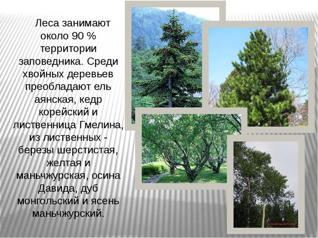Леса занимают около 90 % территории заповедника. Среди хвойных деревьев прео...