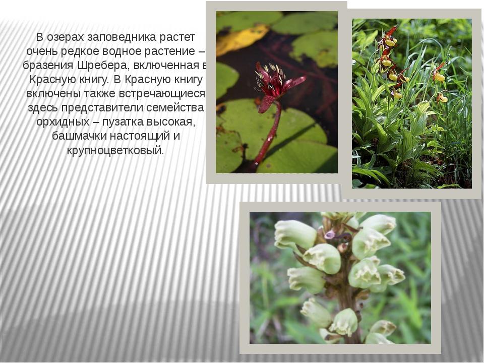 В озерах заповедника растет очень редкое водное растение – бразения Шребера,...