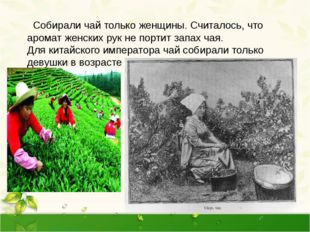 Собирали чай только женщины. Считалось, что аромат женских рук не портит зап
