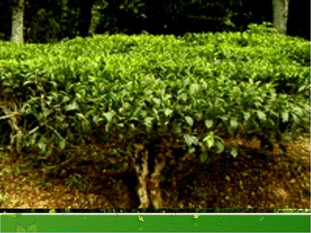 Чайный куст неприхотлив, он может расти на скудных почвах и склонах с камени...