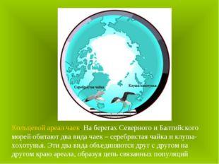 Кольцевой ареал чаек. На берегах Северного и Балтийского морей обитают два ви