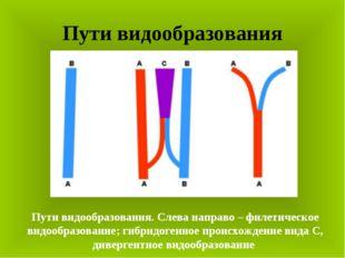 Пути видообразования Пути видообразования. Слева направо – филетическое видоо