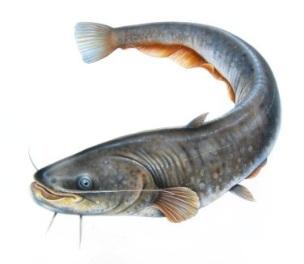 http://fishingdon.ru/wp-content/uploads/2012/03/Catfish.jpg
