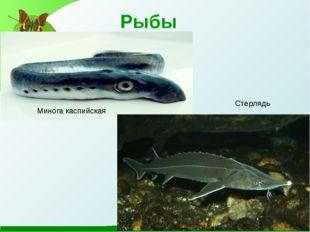 Рыбы Минога каспийская Стерлядь